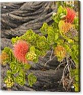 Lehua Flower Acrylic Print