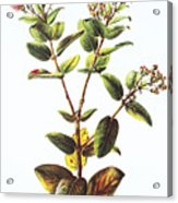 Lehua Ohia Art Acrylic Print