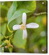 Lemon Blossoms 1 Acrylic Print