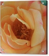 Lemon Blush Rose Acrylic Print