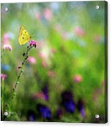 Lemon Butterfly In Summer Meadow  Acrylic Print