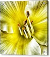 Lemon Cream Daylilly Acrylic Print