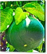 Lemon Or Lime Acrylic Print