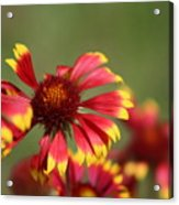 Lemon Yellow And Candy Apple Red Coneflower Acrylic Print