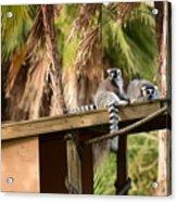 Lemur Couple Acrylic Print