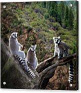 Lemur Family Acrylic Print