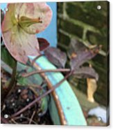 Lenten Rose After An April Shower Acrylic Print