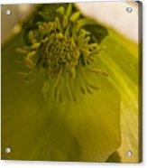 Lenten Rose Interior Acrylic Print
