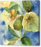 Lenten Rose Acrylic Print