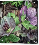 Lenton Rose Acrylic Print