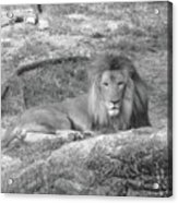 Leo The Lion..... Acrylic Print