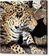 Leopard 2 Acrylic Print