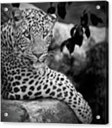 Leopard Acrylic Print by Cesar March