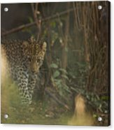 Leopard Comes Out Of The Bush Acrylic Print