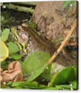 Leopard Frog Acrylic Print