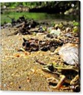 Leopard Frog Landing Acrylic Print