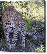 Leopard Front Acrylic Print