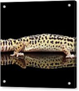 Leopard Gecko Eublepharis Macularius Isolated On Black Background Acrylic Print