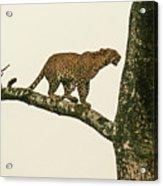 Leopard In A Sal Tree Acrylic Print