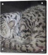 Leopard Kitten Acrylic Print