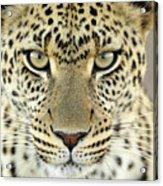 Leopard Panthera Pardus Female Acrylic Print
