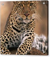 Leopard Panthera Pardus, Masai Mara Acrylic Print by Anup Shah