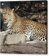 Leopard Relaxing Acrylic Print