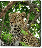 Leopard With Piercing Eyes Acrylic Print