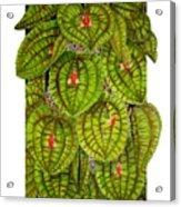 Lepanthes Calodictyon Acrylic Print