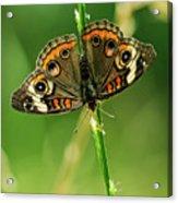 Lepidoptera Acrylic Print by Charles Dobbs