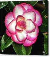 Leslie Ann - Sasanqua Camellia 007 Acrylic Print