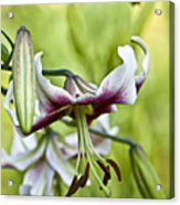 Leslie Woodriffe Lily 2 Acrylic Print