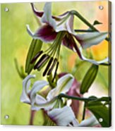 Leslie Woodriffe Lily Acrylic Print