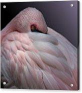 Lesser Flamingo Resting Acrylic Print