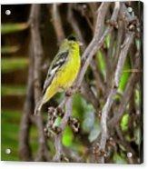 Lesser Goldfinch H57 Acrylic Print
