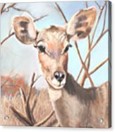 Lesser Kudu Acrylic Print