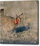 Lesser Prairie Chicken Acrylic Print