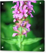 Lesser Purple Fringed Orchid Acrylic Print