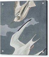 Lesser Tern Acrylic Print