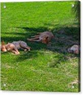 Let Sleeping Dogs Lie Acrylic Print