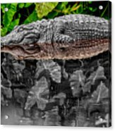 Let Sleeping Gators Lie - Mod Acrylic Print