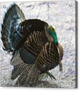 Lets Talk Turkey  Acrylic Print