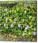 Lettuce Lake Flowers Acrylic Print