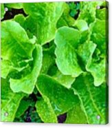 Lettuces Acrylic Print