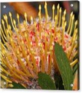 Leucospermum Muirii Acrylic Print