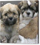 Lhasa Apso Puppy Painting Acrylic Print