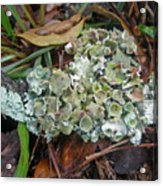 Lichen On Dead Branch Outer Banks North Carolina Usa Acrylic Print