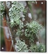 Lichens 4 Acrylic Print
