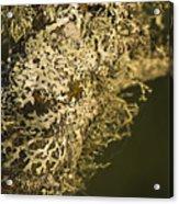 Lichens In Oregon Acrylic Print