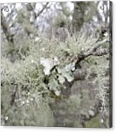 Lichens In The Plums Acrylic Print